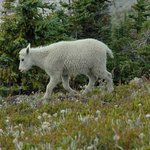 One of many Mountain Goats we saw
