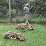 Cheetah's at Tenikwa