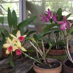 Orchids in the hothouse at Wyndham