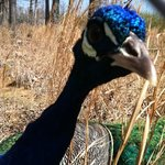 the very friendly, beautiful peacock
