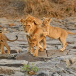 mom and cubs