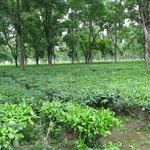 Tea garden in front of the lodge