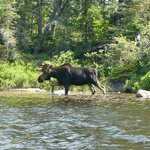 Moose in the BWCAW