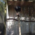 Elvis the resident black vulture