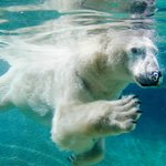 See the majestic polar bears swim underwater