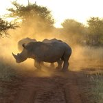 Dawn patrol - Rhino. Madikwe Safari Lodge