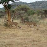 Cheetah Sighting, Madikwe