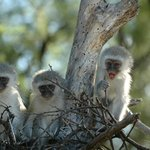 vervet monkeys in Camdeboo park
