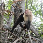 White faced monkeys you can see on mangrove trip