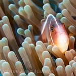 Pink and white striped Clown Fish in Anemone