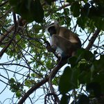 Monkey in front of our Villa