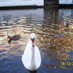Swans and ducks asking to be fed