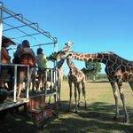 Feeding giraffes on board a cargo truck.