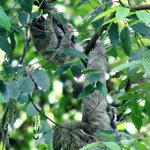 Sloth with Baby - Hiking at Corcovado National Park, Sirena Staton $90