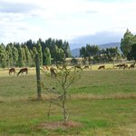 Deer herd paddock beside cottage