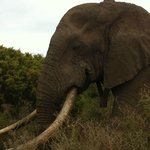 Massive elephant bull 2 meters from our vehicle