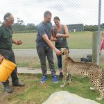 Cheetah encounter - feeding