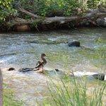Resident ducks on the creek
