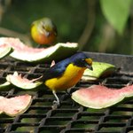 Yellow-headed Euphonia on bar deck fruit tray