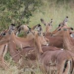 Impalas we met at a game drive