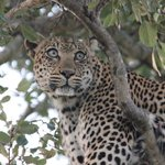 Beatyful leopard