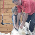 hands on sheep shearing