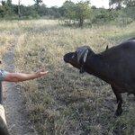 Mark within an arms reach of a cape buffalo