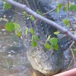 Huge Crocodile at Jetty Clearwater Island Lodge