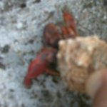 Hermit crab found outside of cottage