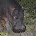 A hungry hippo we spotted at Shamwari