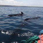 pilot whales spotted on the Genovesa