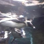 Penguin Swimming By Me