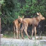 Twin moose calves