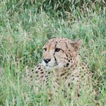 A cheetah in the long grass