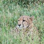 A cheetah in the long grass