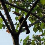 nieuwschierige toucan