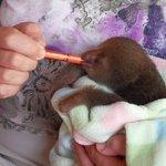 baby luiaard met de hand voeden
