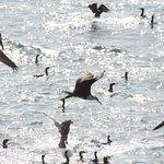 Pelicans, Coromorants and more