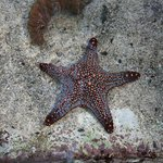 Starfish in the Touching Pool