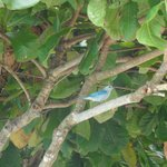 blue grey tanagers on the hotel grounds