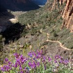Wildflowers and view of Angel's Landing Trail part-way up