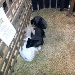 the baby goat and lambs in horkans garden centre (where the bay leaf is located)