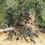 3,500-5,000 year-old ancient Olive Tree of Vouves.