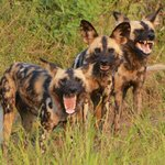 3 wild dogs having their say