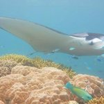 one of the friendly mantas