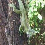Iguana on tree outside balcony