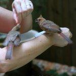Tobi feeding cardinal babies