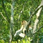 proboscis monkey