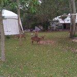 deer in front of tents..