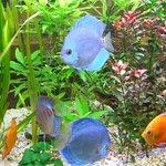 A blue fish..